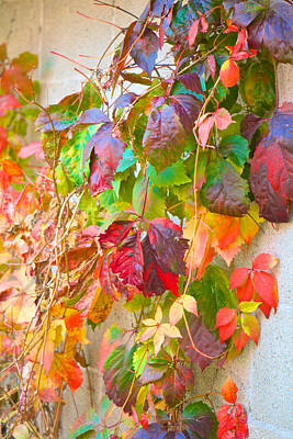Autumn Colors Of Virginia Creeper Poster