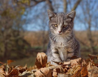 Autumn Farm Cat #2 - Horizontal Poster by Nikolyn McDonald