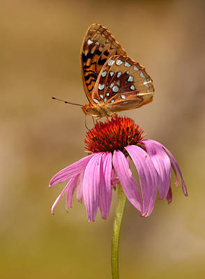 Autumn Fritillary Butterfly Poster by Lara Ellis