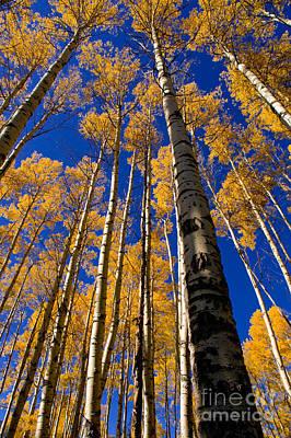 Autumn Golden Aspens Poster by Terry Elniski