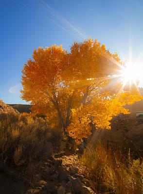Autumn Golden Birch Tree In The Sun Fine Art Photograph Print Poster