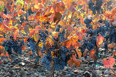 Autumn Grapes Poster