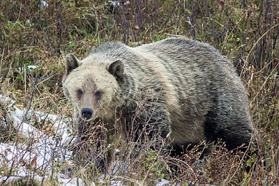 Poster featuring the photograph Autumn Grizzly by Jack Bell