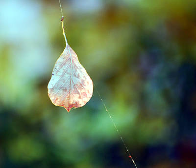 Poster featuring the photograph Autumn Leaf Suspended by Linda Cox