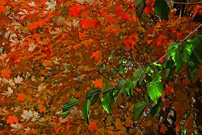 Autumn Leaves In Red And Green Poster