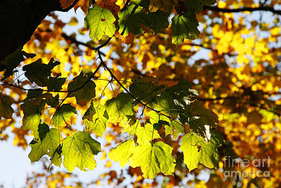 Poster featuring the photograph Autumn Light In Leaves by Lincoln Rogers