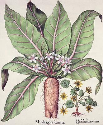 Autumn Mandrake Poster