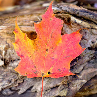 Autumn Maple Leaf On A Log Poster by Chris Bordeleau