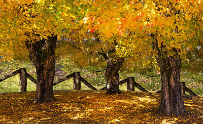Autumn Maples Poster by Debra and Dave Vanderlaan