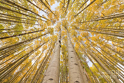 Autumn Quaking Aspen Rocky Mts Colorado Poster