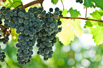 Autumn Ripe Red Wine Grapes Right Before Harvest Poster
