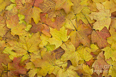 Autumn Sugar Maple Leaves Poster