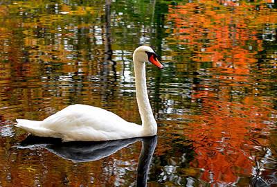 Autumn Swan Poster