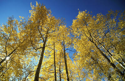 Autumn Tree Trunks In The Usa Poster