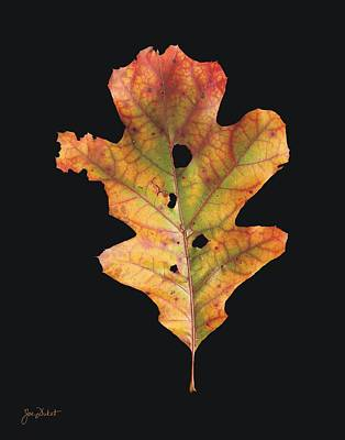 Autumn White Oak Leaf 2 Poster