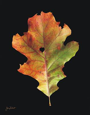 Autumn White Oak Leaf 3 Poster