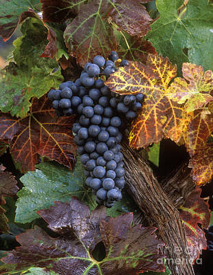 Autumn Zinfandel Cluster Poster by Craig Lovell