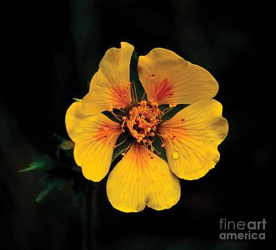 Avens Flower Poster