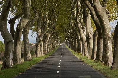 Avenue Of Plane (platanus Sp.) Trees Poster by Bob Gibbons