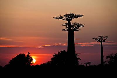Avenue Of The Baobabs, Madagascar Poster by Science Photo Library