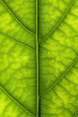 Avocado Leaf Poster by Gary Eason