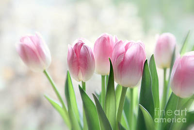 Awakening- Pale Pink Tulips Poster by Sylvia Cook