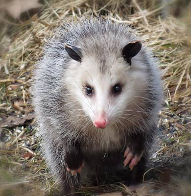 Awesome Possum Poster