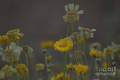 Poster featuring the photograph Az Flowers by Rod Wiens
