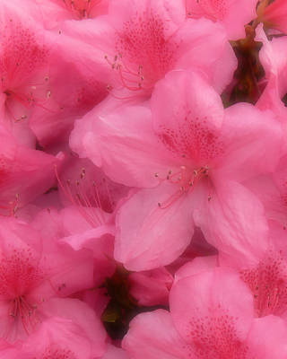 Azaleas In Soft Pink Poster by MM Anderson
