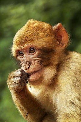 Poster featuring the photograph Baby Barbary Macaque by Selke Boris