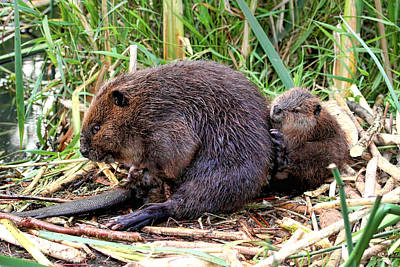 Baby Beaver With Mother Poster
