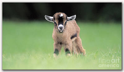 Baby Billy Goat Painting Poster