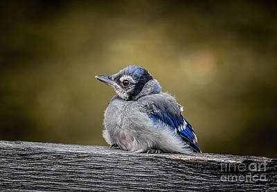 Baby Blue Jay Poster by Robert Frederick