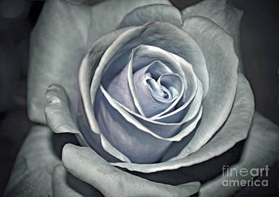 Poster featuring the photograph Baby Blue Rose by Savannah Gibbs