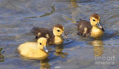 Baby Ducks Poster