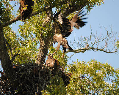 Baby Eagle Trying To Fly Poster
