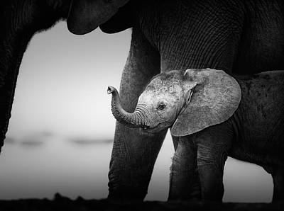 Baby Elephant Next To Cow  Poster