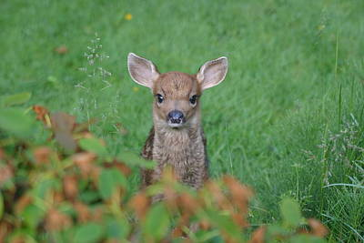 Baby Fawn In Yard Poster by Kym Backland