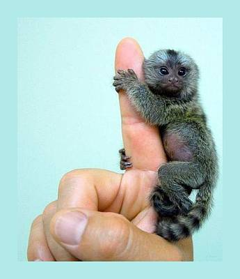 Baby Finger Monkey Aqua Background Poster by L Brown