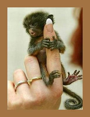 Baby Finger Monkey Tan Border Poster by L Brown