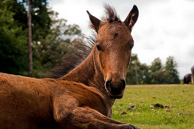 Baby Foal Poster