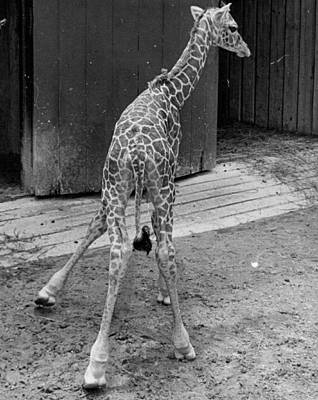 Baby Giraffe Poster by Retro Images Archive