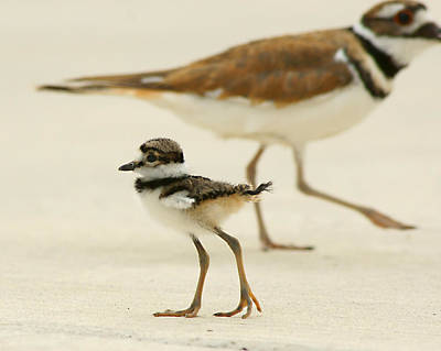 Poster featuring the photograph Baby Killdeer by Jeremy Farnsworth