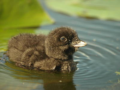 Baby Loon Poster