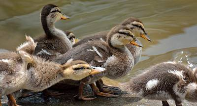 Baby Mallards Poster by Todd Hostetter