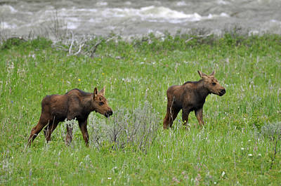 Baby Moose On The Banks Of The Gallatin Poster by Bruce Gourley
