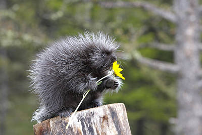 Baby Porcupine With Flower Poster by M. Watson