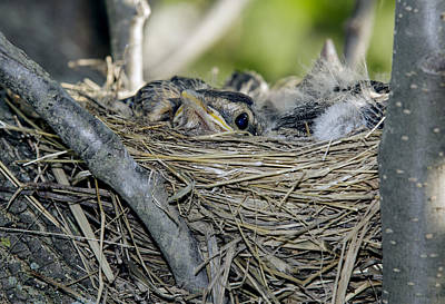 Poster featuring the photograph Baby Robins 2 by David Lester