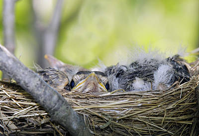 Poster featuring the photograph Baby Robins by David Lester