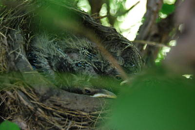 Poster featuring the photograph Baby Robins Nesting by Ramona Whiteaker